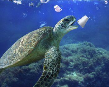 Schildkröte, die unter Wasser nach einem Plastikbecher schnappt.